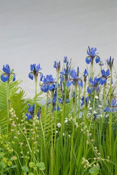 BLUE IRISES that's their name I thought it was there name