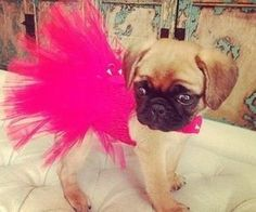 Pug loves to play dress up to get that Friday feeling!