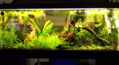 Výsledok vyhľadávania obrázkov pre dopyt dwarf gourami aquarium
