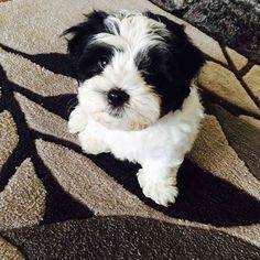New family member. Little Louy #bogantravel #travel #puppy #puppylove #australia #shitzu http://tipsrazzi.com/ipost/1524546060587757021/?code=BUoRpCRDe3d