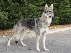 Chien Loup Tchécoslovaque Wolf Hybrid Dogs, Tamaskan Dog, American Indian Dog, Czechoslovakian Wolfdog, Arctic Wolf, Dog Poses, Golden Retriever, Beautiful Dogs, Mammals