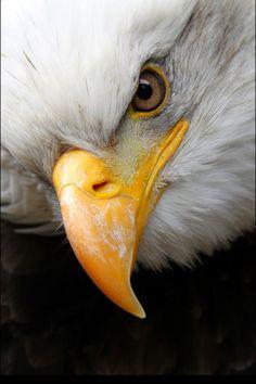 watching the eagles - bald eagle Bold Eagle, Eagle Eye, Eagle Wings, Eagle Bird, Love Birds, Beautiful Birds, Animals Beautiful, Birds Pics, Eagle Pictures