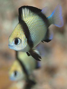 Reticulated dascyllus / Tulamben / , aka damsel fish by Doug Anderson Underwater Creatures, Underwater Life, Ocean Creatures, Colorful Fish, Tropical Fish, Reptiles, Life Under The Sea, Beyond The Sea, Water Animals