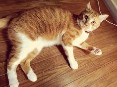 #猫 #cat    https://instagram.com/p/7vICI-OT1u/?taken-by=utineko_korokoro