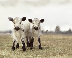 White and Black Cows in the Snow Animal by lucysnowephotography