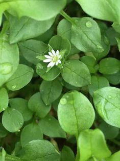 Chickweed: The Delicious Medicinal Hiding in Your Yard  By: Sarah Baldwin