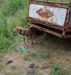 This is how they found this sweet dog. He was chained to a trailer, surviving for ten days on the occasional bread and water brought by passing strangers.