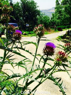 Wild Thistle  www.cookintuscany.com  #tuscany #montefollonico #cookintuscany #Italy #cookingschool #culinary #cooking #school #montepulciano #class #schools #classes #cookery #cucina #travel #tour #trip #vacation #pienza #florence #cook #tuscan #cortona #allinclusive #underthetuscansun