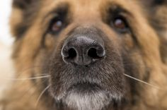 HEALTH AND MEDICINE Bomb Sniffing Dogs Detect Prostate Cancer With More Than 95% Accuracy April 14, 2015 | by Justine Alford