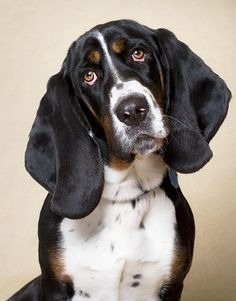 Basset Hound Their sad eyes will get ya ever time... works for mine all the time...