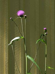 Huopaohdake, Cirsium helenioides - Kukkakasvit - LuontoPortti Bug Hotel, Natural Beauty, Flower Illustrations, World, Garden, Nature, Flowers, Plants, Hotels