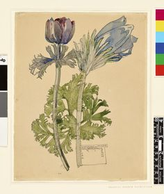 Anemone and Pasque Walberswick; two blue flowers. 1915 Watercolour, over graphite