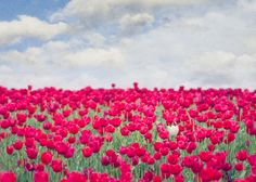 Red Tulip Field Blue Sky White Tulip by FloatingLeafArts on Etsy