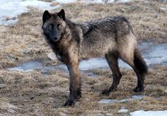Beautiful Wolf. Stay Wild and Free.
