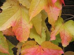 Parthenocissus tricuspidata 'Veitch Boskoop' (Wilde wingerd, Kasteel wingerd)  Een plant met een prachtige herfstkleur.