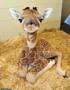 baby_giraffe.jpg
