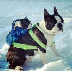 Just two adorable Boston Terriers in the snow. Well one really, the little one is conveniently being carried by the big one For more cute dogs and puppies Animals And Pets, Baby Animals, Funny Animals, Cute Animals, Cute Puppies, Cute Dogs, Dogs And Puppies, Doggies, Boston Terrier Love