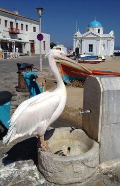 Pelican on Mykonos Island, Greece