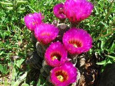 black lace cactus - Google Search