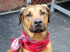 "SAFE --- SUPER URGENT 11/22/14 Manhattan Center   JASMINE - A0983125 *** RETURNED ON 11/21/14 - ""PERSONAL PROBLEMS"" *** AVERAGE HOME ***  SPAYED FEMALE, BROWN / BLACK, LABRADOR RETR / GERM SHEPHERD, 8 yrs OWNER SUR - ONHOLDHERE, HOLD FOR ID Reason PERS PROB  Intake condition EXAM REQ Intake Date 11/21/2014, From NY 10467, DueOut Date 11/21/2014,  https://www.facebook.com/photo.php?fbid=912991872047026"