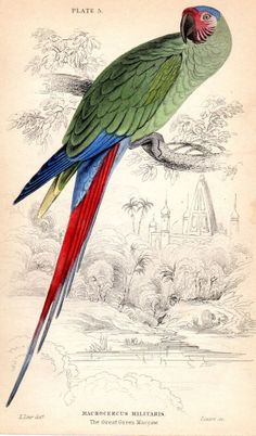 1836 Antique Parrot print Bird Hand Colored by AntiquePrintGallery, $30.00