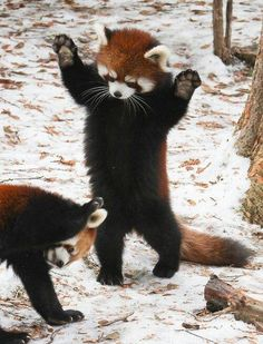 They have the cutest paws in the entire universe. 17 Reasons Red Pandas Are Earth-Shatteringly Cute - FUTURE PET Cute Funny Animals, Cute Baby Animals, Cute Pets, Nature Animals, Animals And Pets, Wild Animals, Beautiful Creatures, Animals Beautiful, Photo Panda