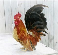 Information and Pictures of Over 60 Chicken Breeds