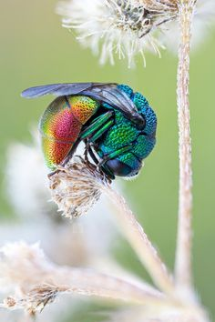 ★ insects and spiders . cuckoo wasp ( Pseudomalus auratus ) by zgrkrmblr Cool Insects, Bugs And Insects, Beautiful Bugs, Beautiful Butterflies, Beautiful Pictures, Beautiful Creatures, Animals Beautiful, Cool Bugs, Bees And Wasps