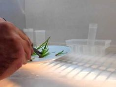 Plant tissue culture cloning clean hood transfers - YouTube