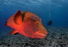Peixe Napoleão  Cheilinus undulatus da família Labridae  Trata-se de um peixe de grande porte e inofensivo, e hoje em dia raro e arredio. Nas poucas reservas marinhas em que existe sem a preocupação da caça, é um peixe quase tão dócil quanto o mero. Vive perto de corais, no oceano pacífico e nada preguiçosamente, a procura de pequenos peixinhos. Pode chegar a dois metros de comprimento e 200 kg de peso.