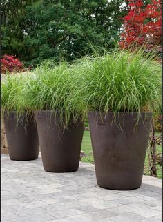 Japanese blood grass potted landscaping cabbage for Ornamental grass in containers for privacy