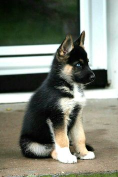 What a beautiful little dog......a shepsky (Siberian Husky - German Shepherd mix).....I want one! (only if he can stay this size).