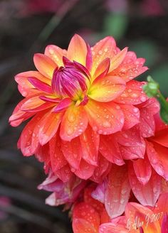 Spicy Dahlias