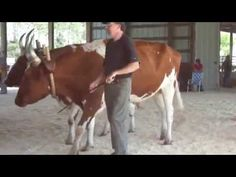 Judging Of Steer & Oxen ( Part-9 )     There are some very nice groups in this video and you go to check out the horns on some of these and know how dangerous it is working with them every day on the farm.