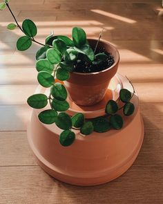 Just found out this might be a Hoya Mathilde, instead of Serpens. Hoya Plants, Potted Plants, Hanging Plants, Cactus, Green Plants, Tropical Plants, Planting Succulents, Planting Flowers, Plant Aesthetic