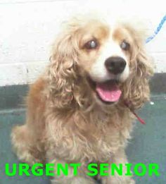 SUE (A1705168) I am a female cream and white Cocker Spaniel. The shelter staff think I am about 8 years old. I was found as a stray and I may be available for adoption on 06/19/2015. Miami Dade https://www.facebook.com/urgentdogsofmiami/photos/pb.191859757515102.-2207520000.1434287921./994454710588932/?type=3&theater