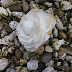 Piovono #camelie  #instanature #instaflower #flowerstagram #primavera #primavera2016 #picoftheday #nofilter by rita_fortunato