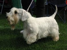 "Sealyham Terrier: ""Originally from Wales, this small breed was once the toast of Hollywood, owned by Alfred Hitchcock, Cary Grant, Bette Davis, and others. However, its popularity has since declined. In 2008, only 43 puppies were registered in the UK."""