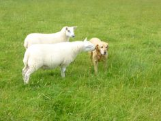 Barley is not a herding dog! Read more on the Ryehill Farm blog.