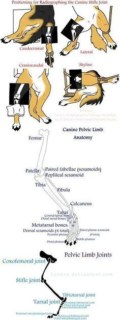 Canine pelvic limb anatomy
