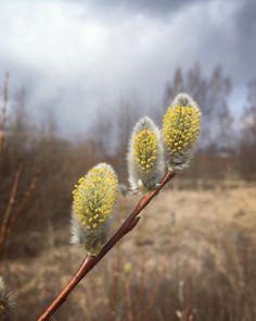 Dandelion, Flowers, Plants, Instagram, Nature, Dandelions, Plant, Taraxacum Officinale, Royal Icing Flowers