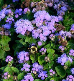 Flores ornamentales: Agerato (Ageratum houstonianum / A. Planting Flowers, Ornaments, Plants, Decor, Flowers, Appliques, Naturaleza, Decoration, Christmas Decorations