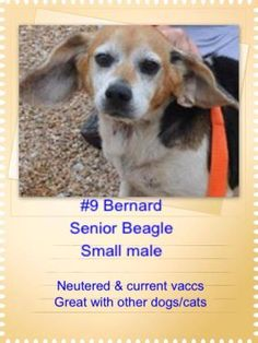 3 / 8    Petango.com – Meet Bernard, a 11 years 1 month Beagle available for adoption in MISSION, KS Contact Information Address  5918 S Broadmoor Street, MISSION, KS, 66202  Phone  (913) 831-7387  Website  http://www.unleashedrescue.com /  Email  unleashedrescue@gmail.com