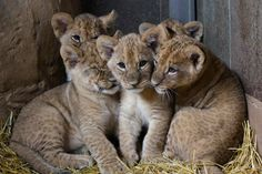 UPDATE! Omaha Zoo Lion Cubs Get Named. See and learn more today, on ZooBorns: http://www.zooborns.com/zooborns/2013/04/update-omaha-zoo-lion-cubs-get-named-.html