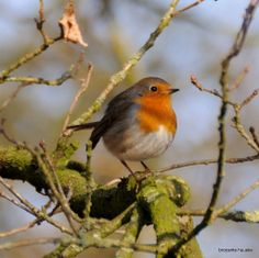Roodborstje in de schijnwerper! Bird Pictures, Pictures To Paint, Pretty Birds, Beautiful Birds, Animals And Pets, Cute Animals, Foto Macro, European Robin, Robin Redbreast