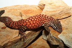 The Spiny-Tailed Monitor, a medium-sized monitor lizard, can attain a total length of up to 70 cm.