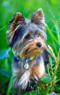 Short hair on face #yorkshireterrier
