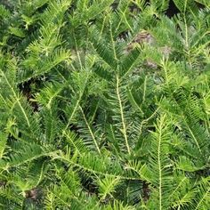 Southern Living Plant Collection 2 gal. Plum Yew Yewtopia-08072 - The Home Depot