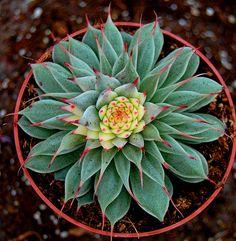 "Graptopetalum filiferum ""Silverstar"" variegated"