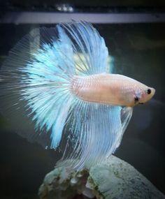 My male Betta Abalone